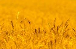 Field of ripe wheat in summer Stock Photo