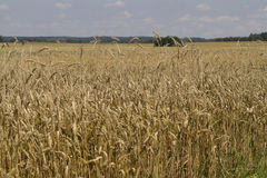 Field of ripe wheat at sunny summer day. A field of ripe wheat at sunny summer day Royalty Free Stock Image