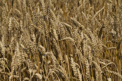 Field of ripe wheat at sunny summer day. A field of ripe wheat at sunny summer day Royalty Free Stock Photos