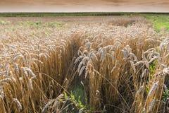 Field of ripe wheat Stock Photos
