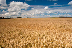 Field of ripe wheat under blue cloudy sky. Beautiful field of ripe wheat under blue cloudy sky Royalty Free Stock Photography