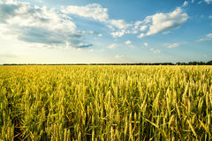 Field of ripe wheat under blue sky. Field of ripe wheat under blue cloudy sky Stock Image