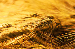 Field of ripe wheat under the golden sunlight Stock Images