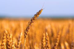 Field of ripe wheat under the golden sunlight Royalty Free Stock Photo
