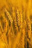 Field of ripe wheat Royalty Free Stock Image