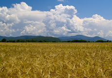 The Field ripe wheats Russia Stock Photo
