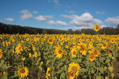 Field of ripe yellow sunflowers Stock Images