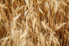 Field of ripe yellow wheat Stock Image