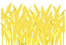 Field of ripe yellow wheat ears on white, painting, vector Royalty Free Stock Images