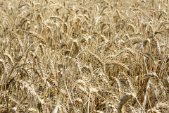 Field of riped wheat Stock Images