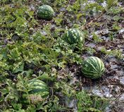 In the field ripen watermelons. In the field in the open air in the organic soil ripen watermelons Royalty Free Stock Photography