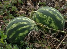 In the field ripen watermelons. In the field in the open air in the organic soil ripen watermelons Stock Images