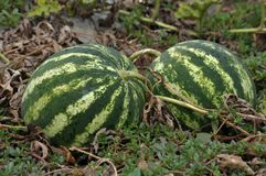 In the field ripen watermelons. In the field in the open air in the organic soil ripen watermelons Royalty Free Stock Photos
