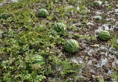 In the field ripen watermelons. In the field in the open air in the organic soil ripen watermelons Stock Photography