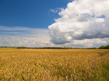 Field of ripen wheat in the sunlight. Rural landscape in the summer Royalty Free Stock Images