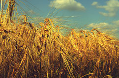 Field with ripened rye against the sky Royalty Free Stock Photography