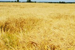 Field with the ripened rye Royalty Free Stock Image