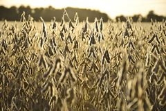 FIELD OF RIPENED SOYBEANS AT SUNSET. A field of ripe soybeans stand at attention waiting for the harvest. The sun makes a halo around the pod royalty free stock photos