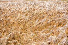 Field of ripening barley in summer daylight in Europe Royalty Free Stock Photo