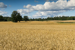 Field ripening cereals Stock Images