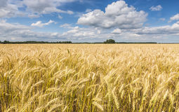 Field of ripening cereals Royalty Free Stock Photos
