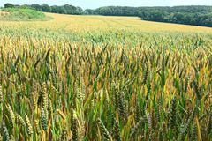 Field of ripening ears of wheat Stock Image