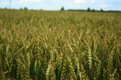 Field with ripening grain Royalty Free Stock Photos
