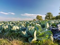 Ripening cabbage field Royalty Free Stock Images
