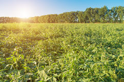 Field of ripening green organic soybean Royalty Free Stock Image