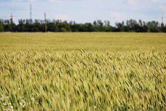 Field of ripening green wheat in late July in summer. Field of ripening green wheat in late July in summer royalty free stock images