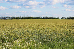 Field of ripening green wheat in late July in summer. Field of ripening green wheat in late July in summer royalty free stock photo