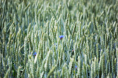 Field of ripening rye with cornflowers Royalty Free Stock Photos