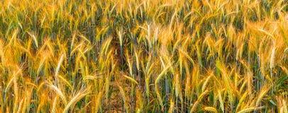 Field of ripening rye, Europe Stock Image