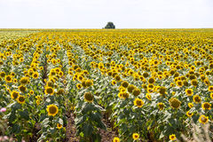 Field of ripening sunflowers in Bulgaria Royalty Free Stock Photo