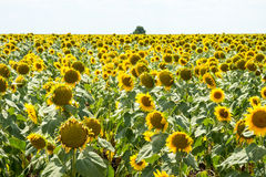 Field of ripening sunflowers, Bulgaria Royalty Free Stock Images