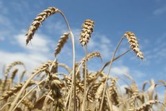 Field of ripening wheat against blue sky Royalty Free Stock Photo