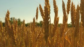 Field of ripening wheat against the blue sky. Spikelets of wheat with grain shakes the wind. grain harvest ripens in