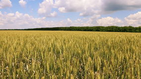 The field of ripening wheat. And cloudy sky stock video footage