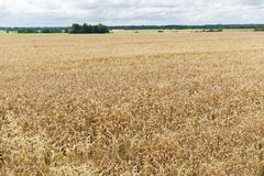 Field of ripening wheat ears or rye spikes Royalty Free Stock Images