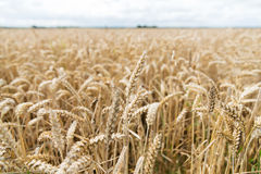Field of ripening wheat ears or rye spikes Royalty Free Stock Photography