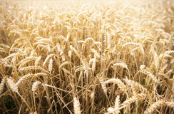 Field of ripening wheat ears or rye spikes Royalty Free Stock Photo