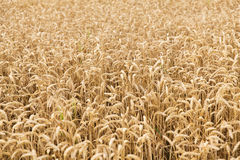Field of ripening wheat ears or rye spikes Stock Photography
