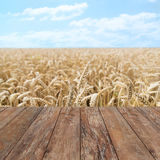 Field of ripening wheat ears or rye spikes Stock Photo