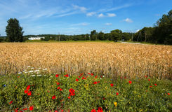 Field of ripening wheat. Image may be useful  for ideas and concepts of interactions between natural and industrial landscapes Royalty Free Stock Photo