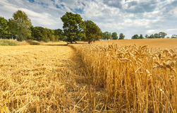 Field of ripening wheat. Image may be useful  for ideas and concepts of interactions between natural and industrial landscapes Royalty Free Stock Image
