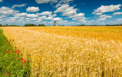Field of ripening wheat Royalty Free Stock Photography