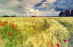 Field of ripening wheat with poppies, Europe Stock Photo