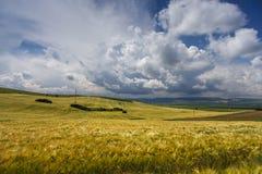 Field of ripening wheat Stock Photography