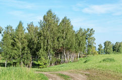 Field road among birches Royalty Free Stock Photo