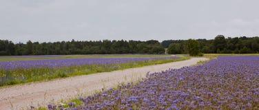 Field road, blue flower fields Stock Photo
